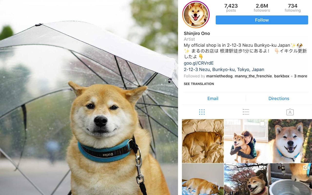 <p>Shiba Inu, Japan - 2.6M Followers</p>
