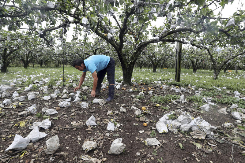 A man picks up pears knocked to the ground after Typhoon Lingling passed through Suncheon, South Korea, Sunday, Sept 8, 2019. South Korea on Sunday was surveying the impact of one of the most powerful typhoons to ever hit the Korean Peninsula, but the country appears to have escaped widespread damage. (Hyung Min-woo/Yonhap via AP)