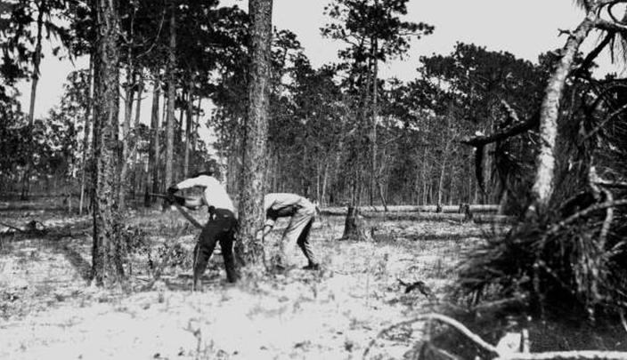 This photo, from Florida's State Archives, shows loggers felling a longleaf pine at De Leon Springs in April 1915. When European settlers came to North America, fire-dependent savannas anchored by lofty pines with footlong needles covered much of what became the southern United States. Yet by the 1990s, logging, clear-cutting for farms and development and fire suppression had all but eliminated longleaf pines and the grasslands beneath where hundreds of plant and animal species flourished. Now an intensive effort in nine coastal states from Virginia to Texas is bringing back the pines named for the long needles prized by Native Americans for weaving baskets. (Florida's State Archives via AP)