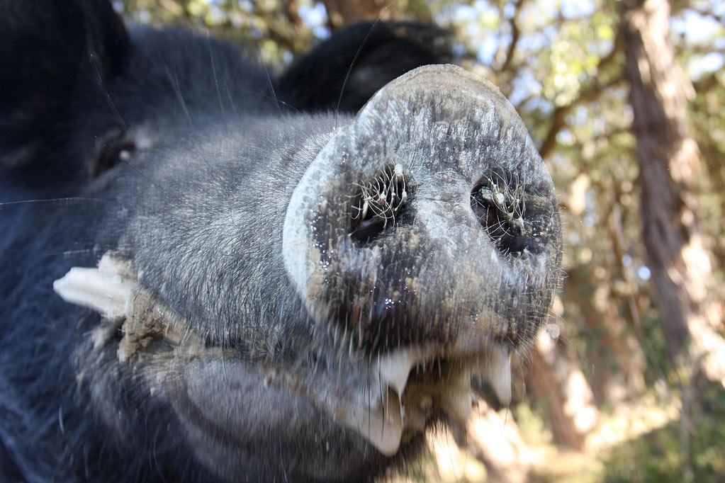 """Close-up of a wild hog as seen on """"Wild Hogs."""""""