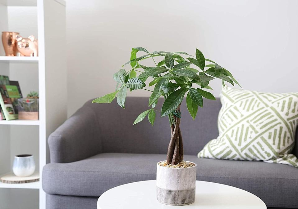<p>Add height to coffee tables and end tables with the <span>Costa Farms Money Tree Pachira</span> ($32).</p>