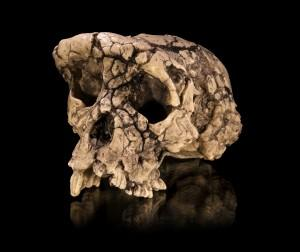 Brain Shape Confirms Controversial Fossil as Oldest Human Ancestor