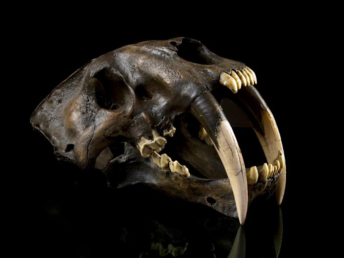 The newly recognised species was an ancient relative of one of the best-known prehistoric animals - the saber-toothed cat Smilodon, seen here (Getty)