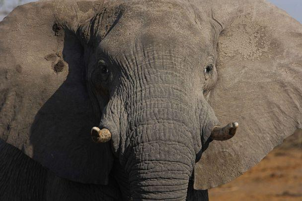 PHOTO:An undated stock photo of an African Elephant. (STOCK PHOTO/Getty Images)