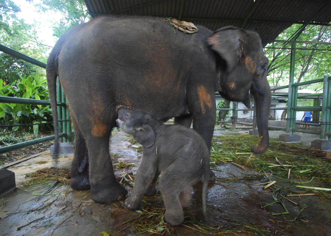 A newly-born Sumatran elephant feeds from its mother, 20 years old Lembang, only hours after its birth at Surabaya Zoo in Surabaya, East Java, Indonesia, Monday, Dec. 20, 2010. Indonesia's endangered elephants, tigers and orangutans are threatened by shrinking habitat, which is cut and burned to make way for plantations or sold as lumber. Only 3,000 Sumatran elephants are believed to remain in the wild.