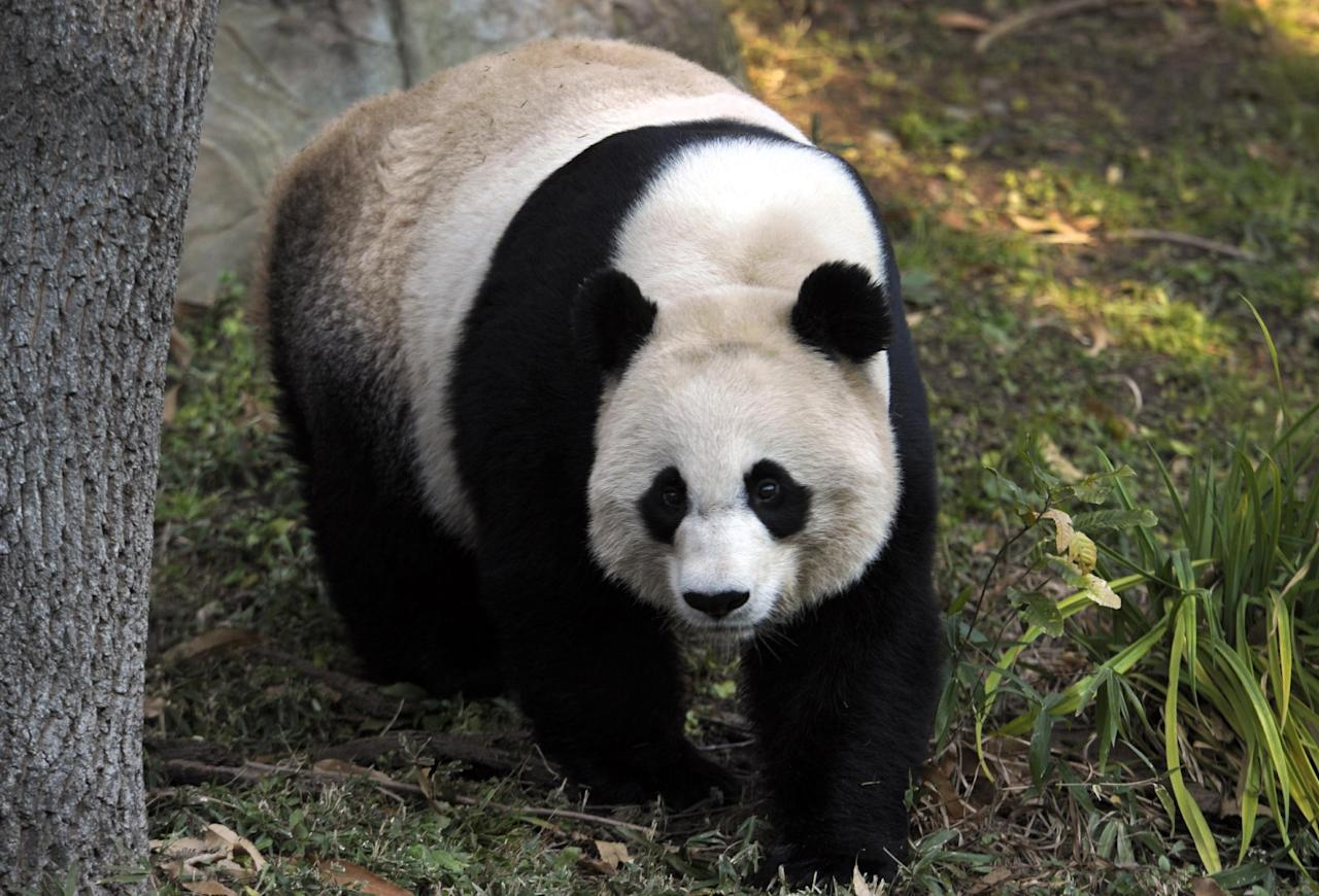 """Mei Xiang, the female giant panda at the Smithsonian's National Zoo in Washington, eats breakfast Monday, Dec. 19, 2011. The zoo announced a $4.5 million gift Monday to fund its giant panda reproduction program for five more years. Donator and philanthropist David M. Rubenstein, who is also co-founder and managing director of the Carlyle Group, said in a news conference, """"There are probably 10 million species on the face of the earth, and I doubt that any one of those species is more popular and more beloved than the giant panda."""" """"Hopefully this will result in more pandas being born here,"""" he said. (AP Photo/Susan Walsh)"""