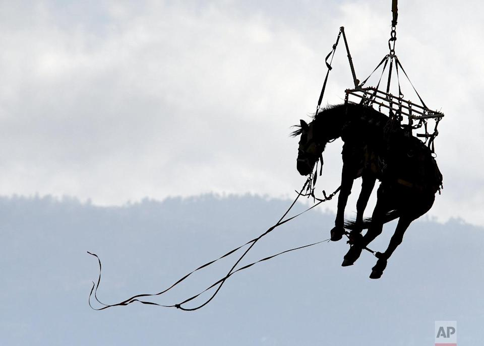 <p>A Los Angeles County Fire Department helicopter carries a horse to Bowen Ranch in rural Apple Valley, California. San Bernardino County firefighters, with assistance from the LAFD helicopter, rescued the horse from Deep Creek. (James Quigg/The Daily Press via AP) </p>