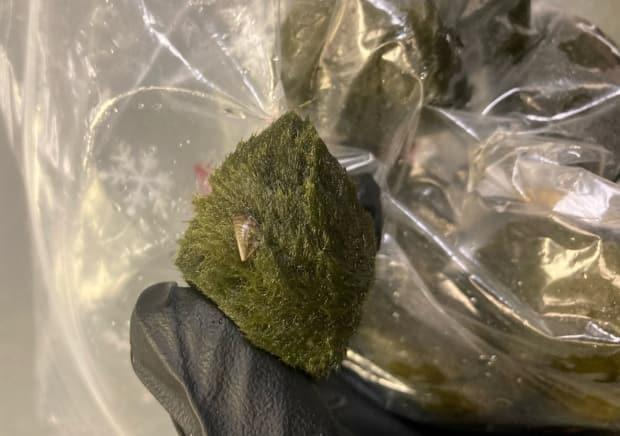 The B.C. Conservation Officer Service tweeted a picture of one of the invasive species recently found on popular aquarium plants known as moss balls, originally shipped from pet suppliers in Europe. (B.C. Conservation Officer Service - image credit)