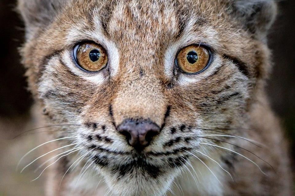 A four-month-old Lynx kitten explores its home in the Bear Wood exhibit at the Wild Place Project in Bristol (Ben Birchall/PA) (PA Wire)