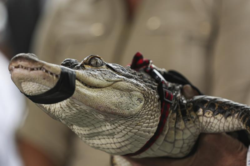 Florida alligator expert Frank Robb holds an alligator during a news conference, Tuesday, July 16, 2019, in Chicago. Robb captured the elusive alligator in a public lagoon at Humboldt Park early Tuesday. (AP Photo/Amr Alfiky)