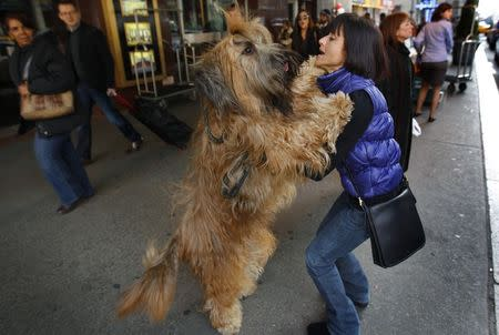Gilbert, a three-year-old Briard breed, leaps on his owner Delores Dement of Memphis, Tennessee as they arrive to check into the Pennsylvania Hotel in New York City for the 136th Westminster Kennel Club Dog Show in this February 10, 2012 file photo.  REUTERS/Mike Segar/Files