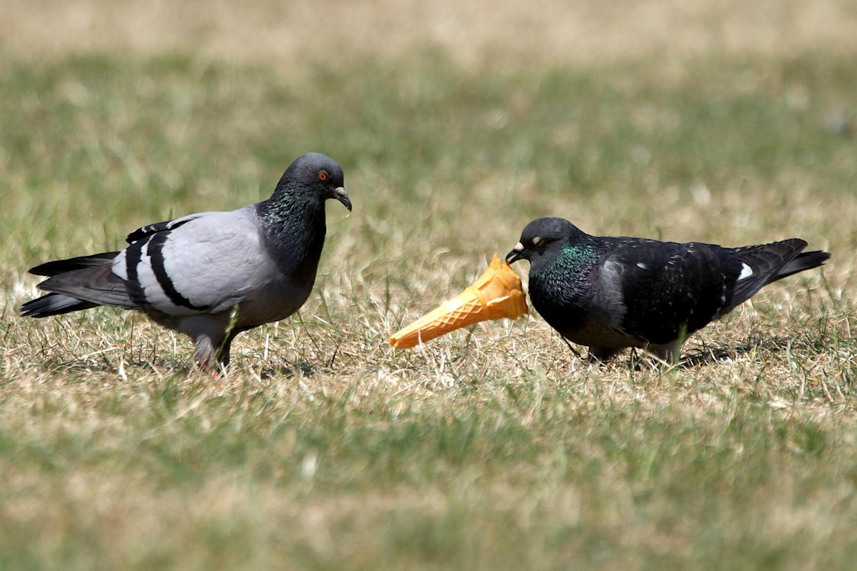 Dog owners warned of pigeons passing chlamydia to pets