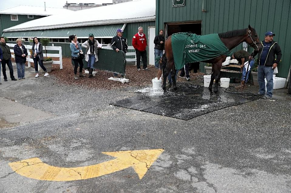Kentucky Derby winner Nyquist is bathed after a training session for the 141st running of the Preakness Stakes at Pimlico Race Course on May 18, 2016 in Baltimore, Maryland (AFP Photo/Patrick Smith)