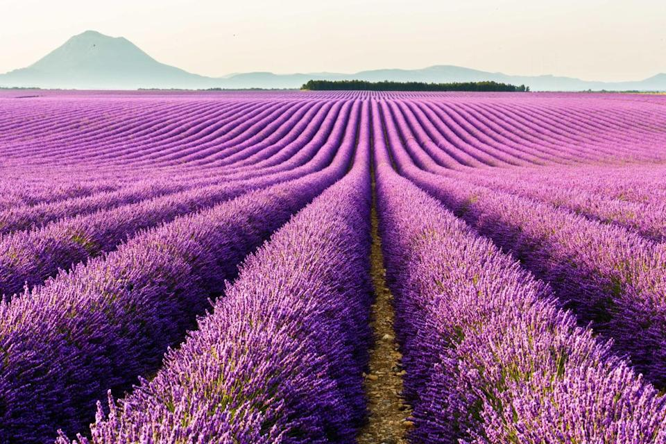 """<p>A sea of purple unfurls in front of you if you make it to Provence between June and August, when the lavender fields are in bloom. It's a real treat to see (and smell) field after field of this flower, which tends to be found in the Luberon region. (Photo: Flickr / <a rel=""""nofollow noopener"""" href=""""https://www.flickr.com/photos/loic80l/"""" target=""""_blank"""" data-ylk=""""slk:Loic Lagarde"""" class=""""link rapid-noclick-resp"""">Loic Lagarde</a>)</p>"""
