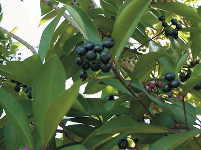 Shoebutton ardisia berries are dark purple when ripe and are not perfectly round.