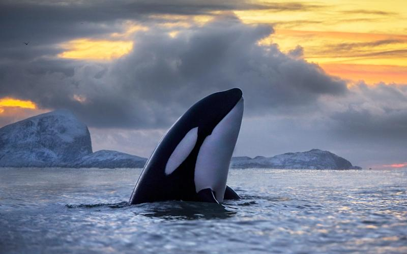 Around the British Isles, killer whale numbers have halved to around 10 but could vanish completely - (C) www.audunrikardsen.com