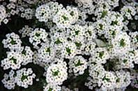 <p>How sweet this plant variety truly is—both heat- and drought-resistant, the white blooms can handle a handful of regions in the U.S., specifically milder environments. Its enticing scent also attracts bees and butterflies (and humans!). </p><p><strong>Zones: 7-11</strong></p>