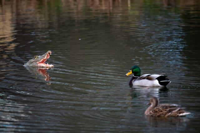 A village has been left bemused over rogue wildlife in the local pond following the mysterious appearance of an alligator