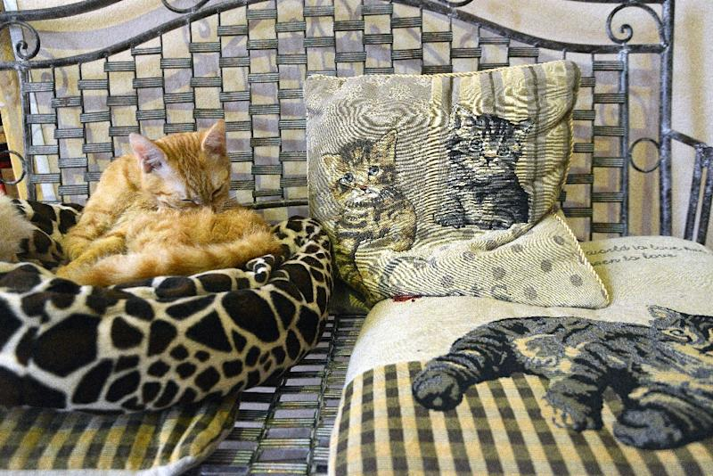 Already popular in Japan, Taiwan, parts of Asia and Europe, cat cafes are booming in the Czech Republic (AFP Photo/Michal Cizek)
