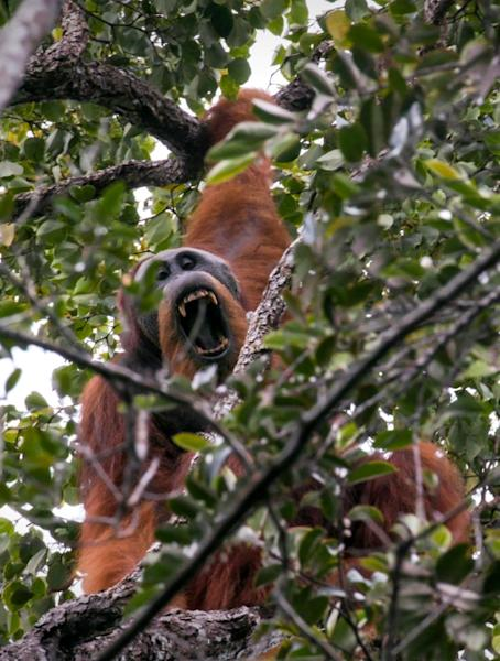 Until recently, scientists thought there were only two genetically distinct types of orangutan, the Bornean and Sumatran