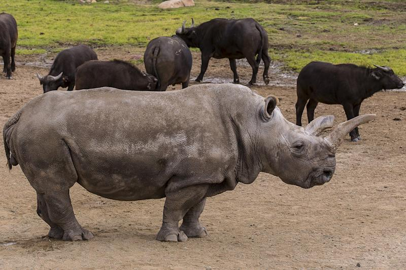 Nola, a critically endangered 40-year-old female northern white rhino, is shown at the San Diego Zoo Safari Park in Escondido, California in this January 8, 2015 handout photo released to Reuters May 12, 2015. One of just five left on Earth, Nola is undergoing treatment at the San Diego Zoo Safari Park for what veterinarians believe is an abscess under its skin, a park spokeswoman said on Tuesday.  REUTERS/Ken Bohn/Copyright San Diego Zoo Safari Park/Handout  ATTENTION EDITORS - FOR EDITORIAL USE ONLY. NOT FOR SALE FOR MARKETING OR ADVERTISING CAMPAIGNS.  THIS PICTURE WAS PROVIDED BY A THIRD PARTY. REUTERS IS UNABLE TO INDEPENDENTLY VERIFY THE AUTHENTICITY, CONTENT, LOCATION OR DATE OF THIS IMAGE. FOR EDITORIAL USE ONLY. NOT FOR SALE FOR MARKETING OR ADVERTISING CAMPAIGNS.  NO SALES. NO ARCHIVES.