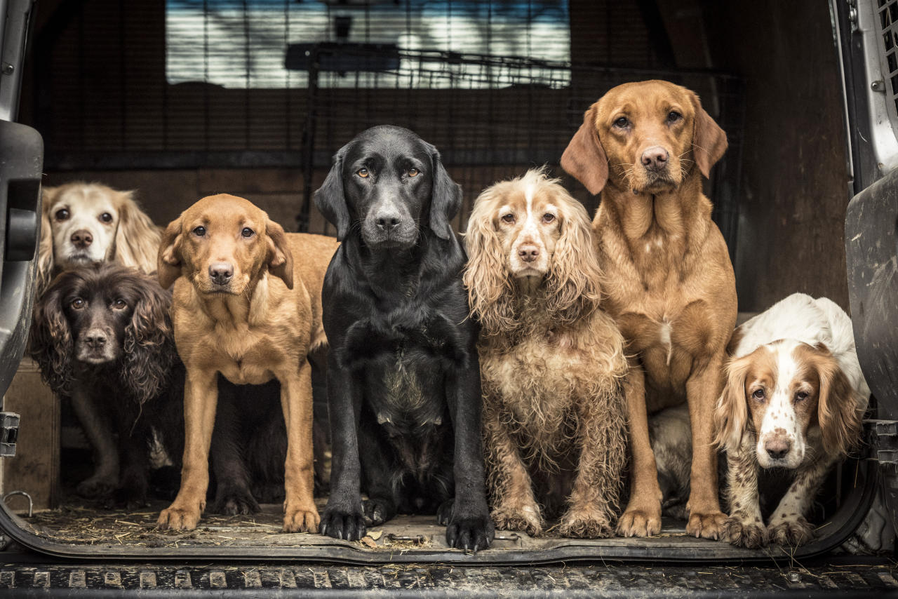 <p>Tracy Kidd from the UK won the 'Dogs at Work' category with a group shot of spaniels and retriever dogs after a day of working hard. [Picture: Tracy Kidd/Kennel Club] </p>