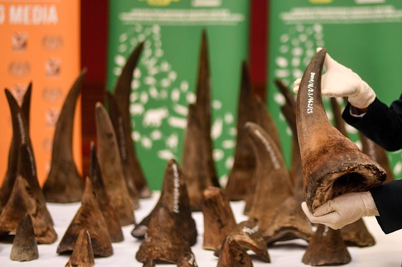 A Malaysian Wildlife official displays seized rhino horns and other animal parts at the Department of Wildlife and National Parks headquarters in Kuala Lumpur on August 20, 2018. - Malaysia has made a record seizure of 50 rhino horns worth an estimated 12 million US dollars as they were being flown to Vietnam, authorities said on August 20. (Photo by Manan VATSYAYANA / AFP) (Photo credit should read MANAN VATSYAYANA/AFP via Getty Images)