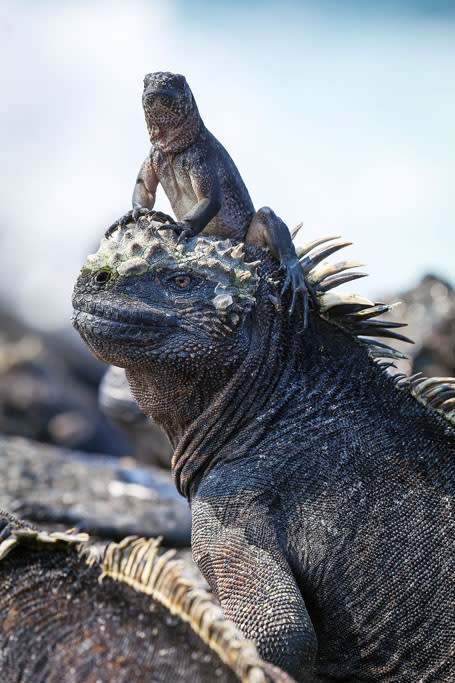 A hatchling marine iguana sits on the head of an adult at Cape Douglas, on the island of Fernandina.