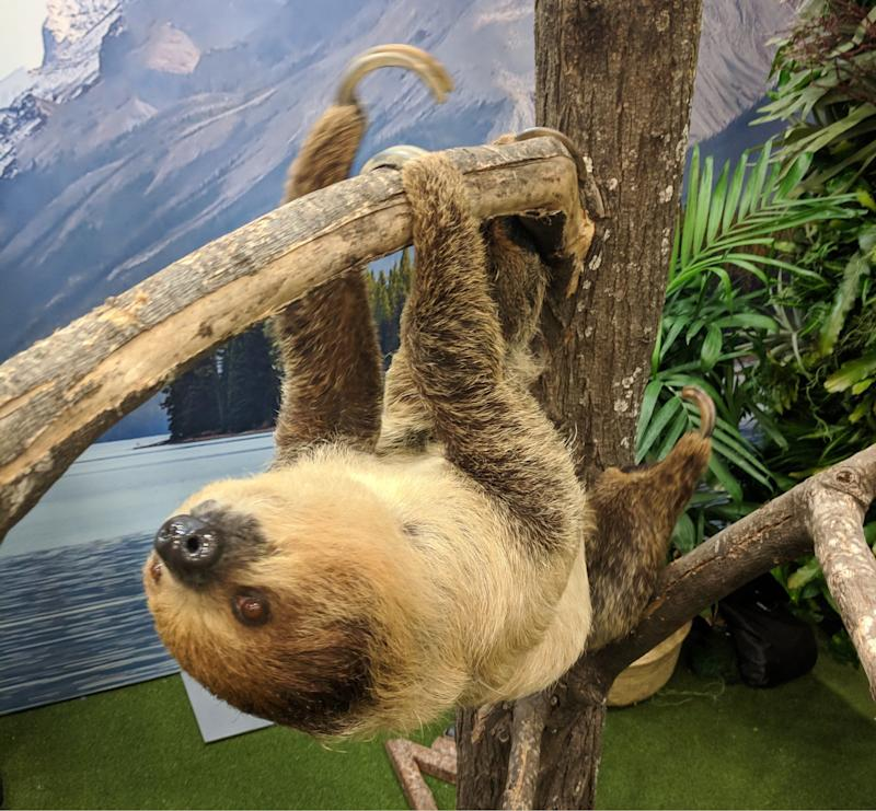 Sienna the sloth made her SXSW debut at the Calm booth. (image: Rob Pegoraro)