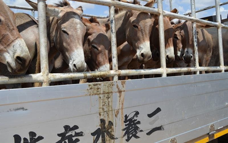 Donkeys are transported to market in China