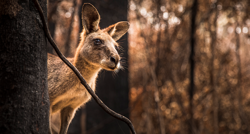 Wildlife advocates have questioned the wisdom of increasing the quota just 12 months after the Black Summer bushfires. Source: Getty