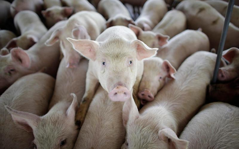 Researchers took 30,000 nasal swabs from pigs in slaughterhouses - AP
