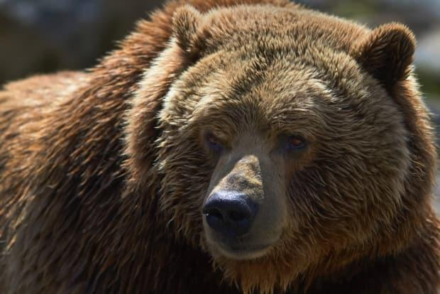 A grizzly bear is pictured in a stock photo. One person has been taken to hospital after an attack in B.C. early Wednesday. (Jakub Moravec/Shutterstock - image credit)