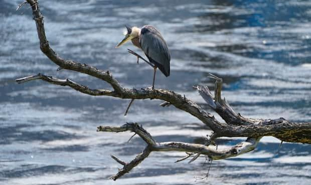 An adult Great Blue Heron stands on a dead tree on the banks of the Ottawa River  in Gatineau, Que., last week. (Sean Kilpatrick/Canadian Press - image credit)