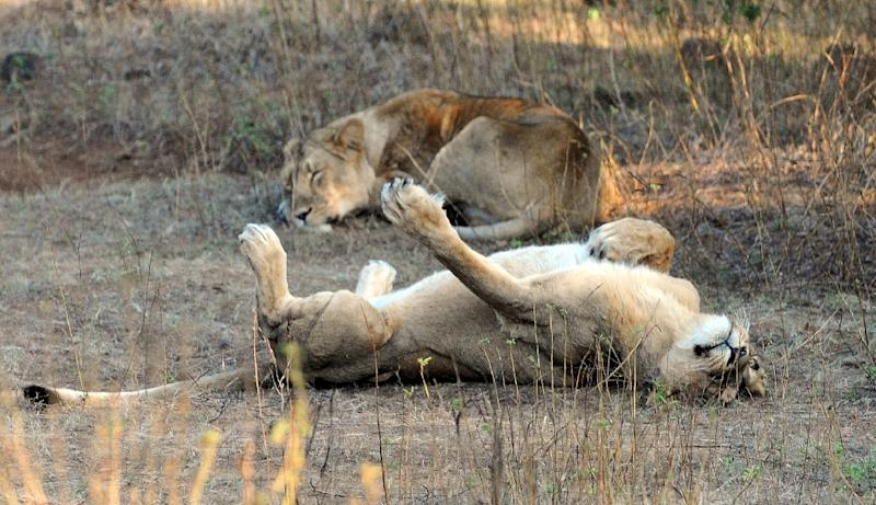 Endangered Asiatic Lions rest after a kill at the Gir Forest National Park and Wildlife Sanctuary in the western Indian state of Gujarat on December 25, 2010 (AFP Photo/Indranil Mukherjee)