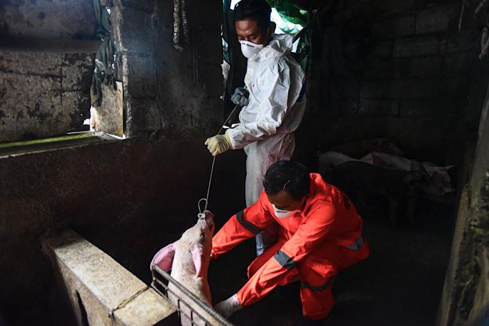 File Photo: City health official conduct monitoring and testing for African Swine Fever at a backyard piggery in Manila on September 17, 2019. (Photo: MARIA TAN/AFP via Getty Images)