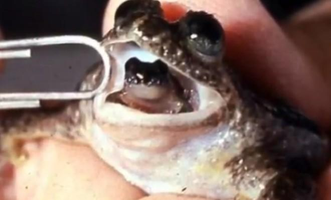 Female gastric-brooding frogs use their stomachs as a makeshift womb, then later regurgitate their young.