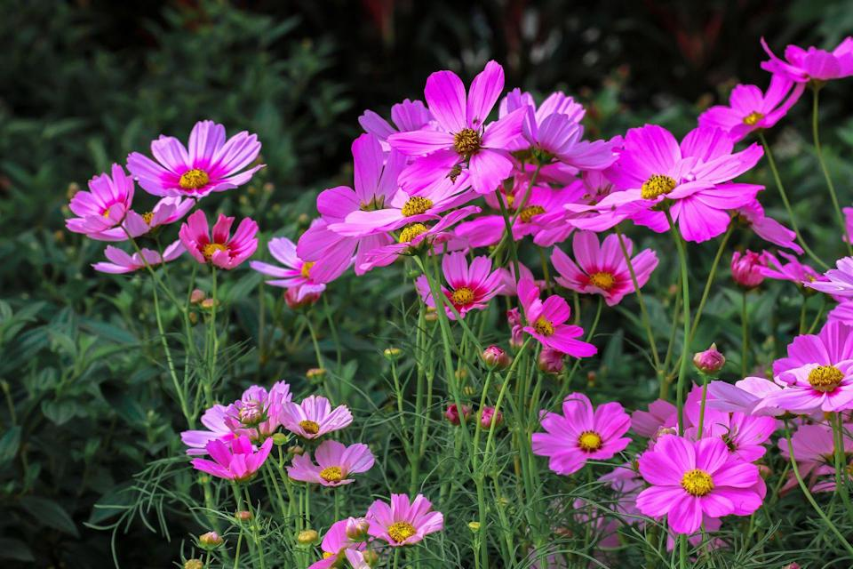 <p>Opting for a summer-hardy annual wildflower is an excellent way to extend a colorful summer garden into the fall. We're partial to cosmos for their whimsical, romantic blooms and the fact that they are pollinators, attracting bees, butterflies, and bird to our gardens. These babies are a great option for those in USDA Hardiness Zones 2-11 and come in a wide variety of colors. </p>