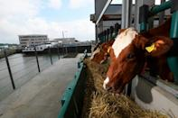 The cows are a sharp contrast to the huge ships and the smoke from the refineries of Europe's biggest seaport (AFP/John THYS)