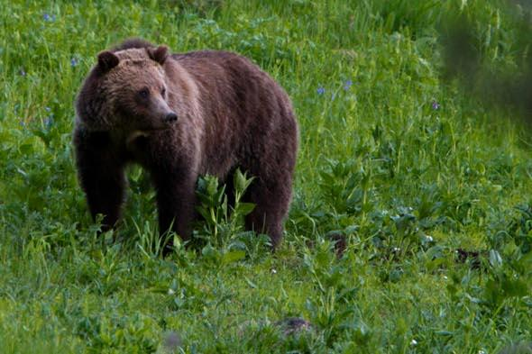 Hiker killed by grizzly bear in Alaska