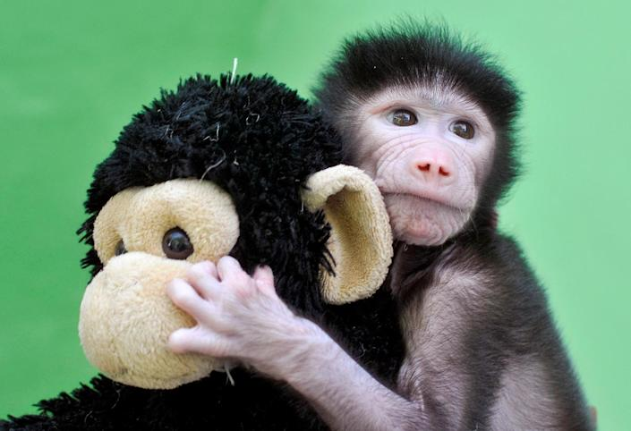 <p>A 23-day-old hamadryas baboon plays with a stuffed toy at Sri Chamarajendra Zoological Gardens after the baboon, according to a zoo doctor, was abandoned by its mother after its birth on April 4, in the southern city of Mysuru, India, April 28, 2016. (REUTERS/Abhishek N. Chinnappa) </p>