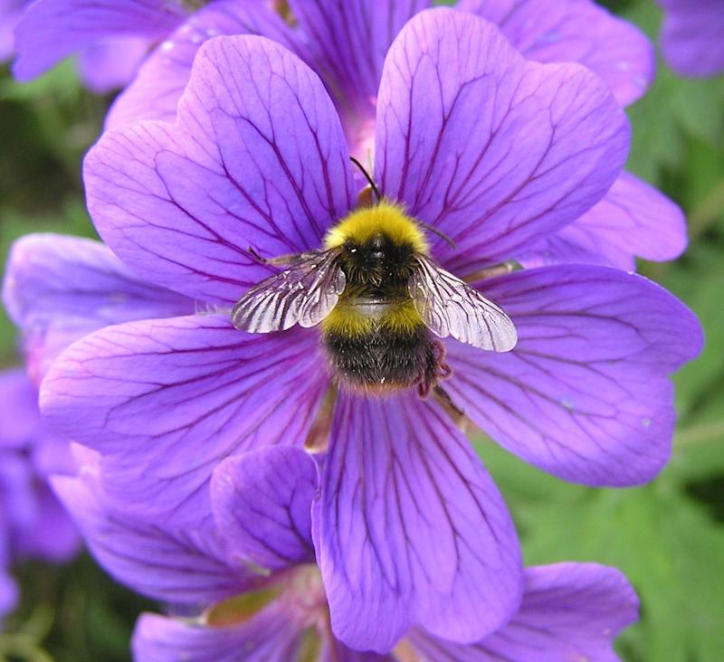 Photo credit: Bumblebee Conservation Trust
