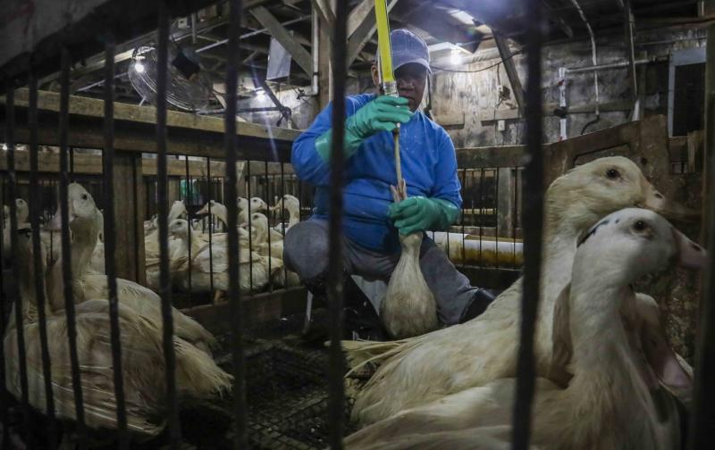 CORRECTS TO HUDSON VALLEY FOIE GRAS INSTEAD OF HIDDEN VALLEY FOIE GRAS In this July 18, 2019 photo, Moulard ducks, a hybrid white farm Peking duck and a South American Muscovy duck, are caged and force-fed at Hudson Valley Foie Gras duck farm in Ferndale, N.Y., to fatten their livers to produce foie gras. A New York City proposal to ban the sale of foie gras, the fattened liver of a duck or goose, has the backing of animal welfare advocates, but could mean trouble for farms outside the city that are the premier U.S. producers of the French delicacy. (AP Photo/Bebeto Matthews)