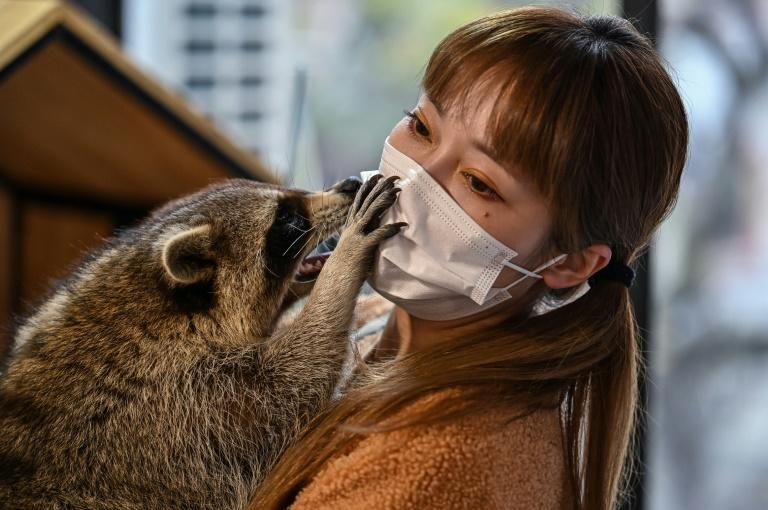 A raccoon interacting with cafe owner Cheng Chen at Raccoon Cafe in Shanghai