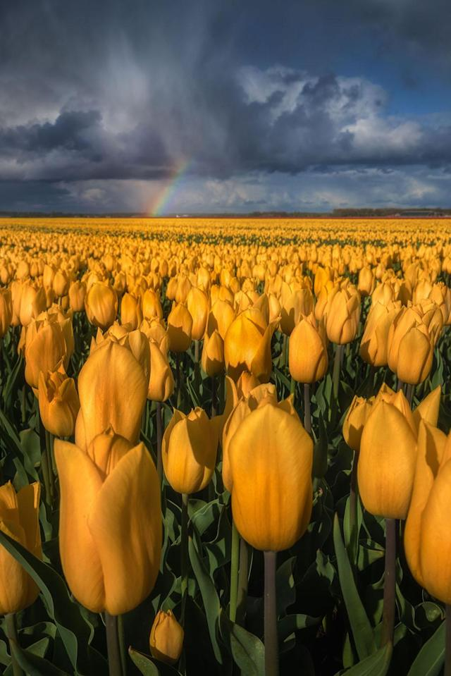 """<p>""""My favorite locations are different each year because the flowers on particular locations differ in colors and sometimes even in type."""" (Photo: Albert Dros/Caters News) </p>"""