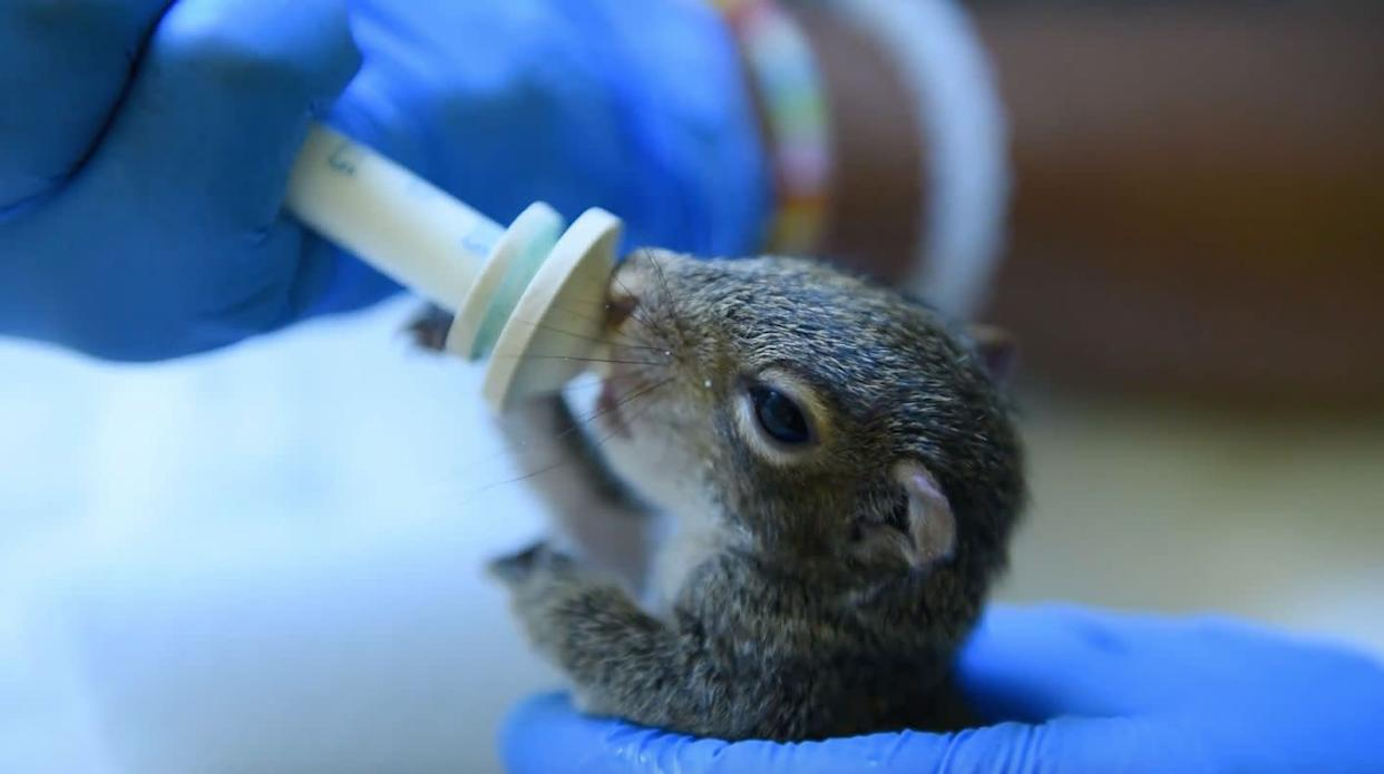 A baby squirrel is bottle-fed at the wildlife center. (Photo: humanesociety.org)