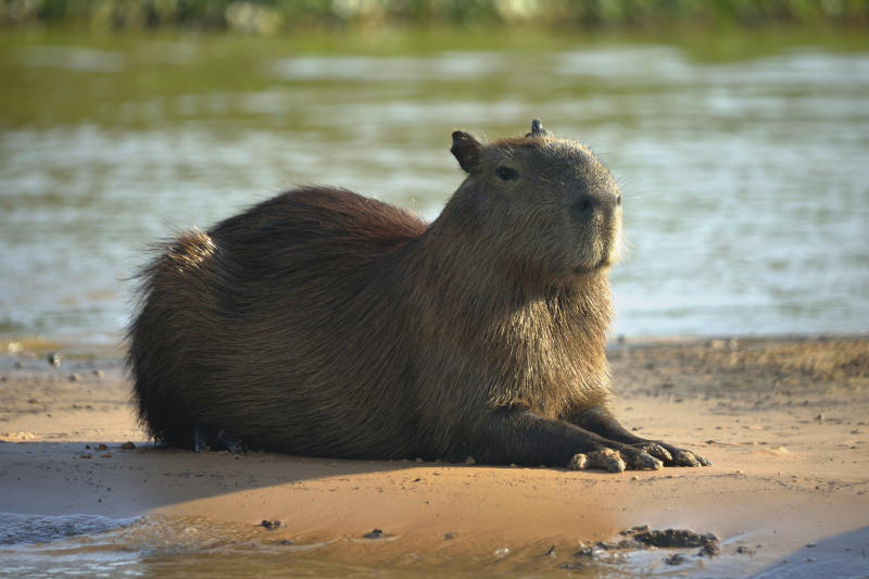 Binomial name: Hydrochoerus hydrochaeris. Rodent native to South America. Found in Pantanal Wetlands.