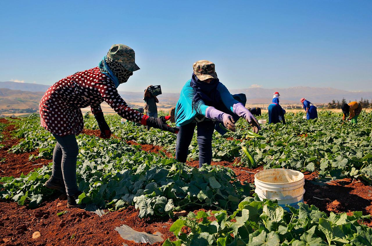 <p>Syrian refugee women, who fled with their family from the city of Raqqa, Syria, pick cucumbers in a field, in the eastern city of Baalbek, Lebanon, Tuesday, June 20, 2017. The U.N. children's agency says the European Union has donated 90 million euros ($100.3 million) that will help provide critical services and support to Syrian refugees in Lebanon, Jordan and Turkey. UNICEF said in a statement Tuesday that the donation on World Refugee Day will help it along with host countries to provide hundreds of thousands of children and young people with access to education, vocational training and psychological support. (Photo: Bilal Hussein/AP) </p>