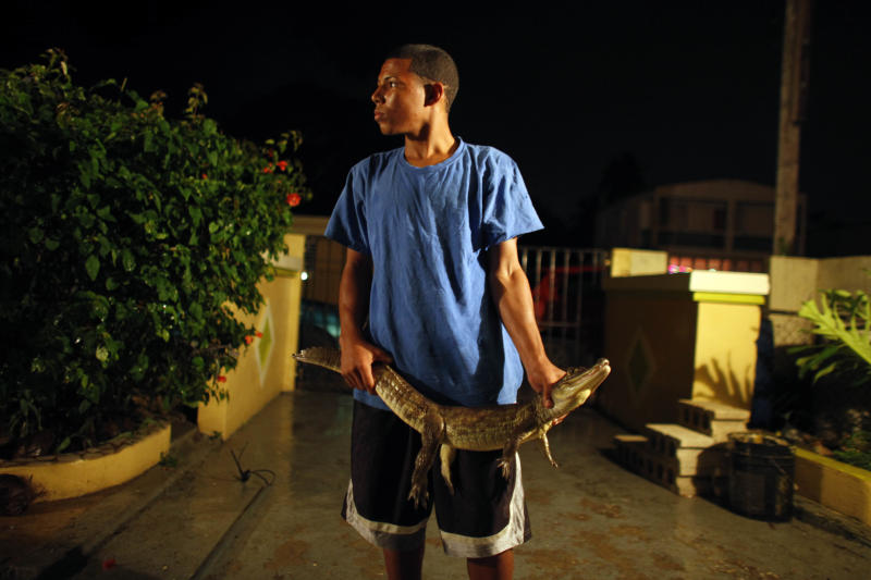 In this Dec. 5, 2012 photo, Shalepxis Morales holds a caiman that will be killed, skinned and eaten at the home of his grandfather Daniel Montanez, in the Los Naranjos neighborhood of Vega Baja, Puerto Rico. The Montanez family said the meat tastes like chicken as long as it's marinated in lemon or orange juice to first take away the fishy taste. Then they fry it, sautee it or grill it. What the family doesn't eat is sold to interested buyers. (AP Photo/Ricardo Arduengo)