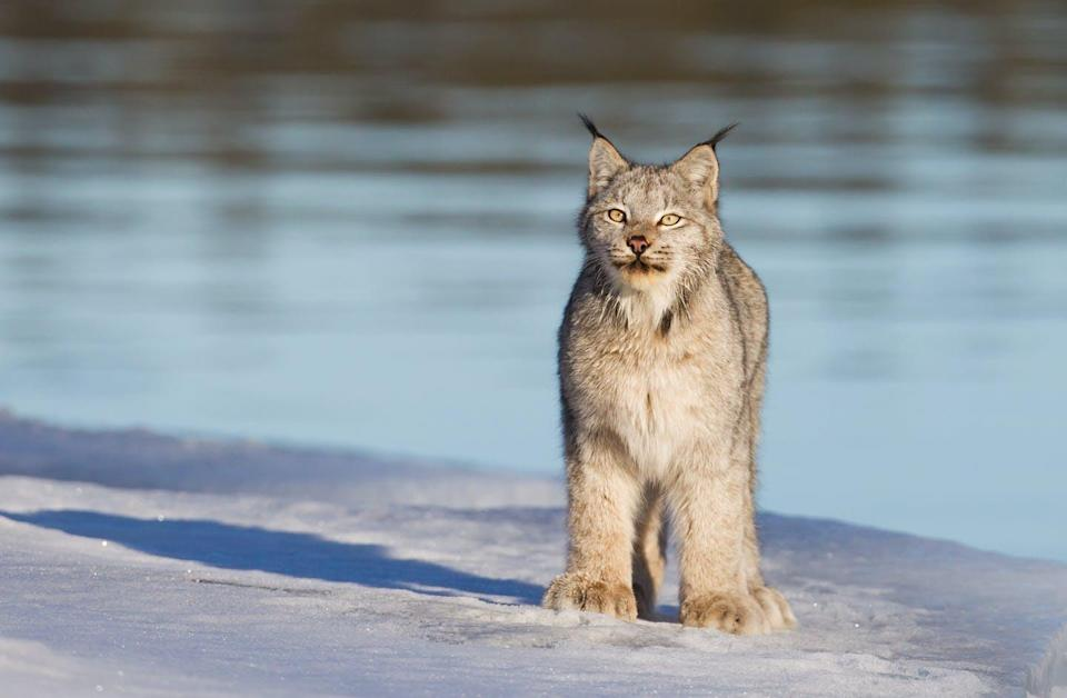 """<span class=""""caption"""">The secret lives of lynx is revealed through audio recordings.</span> <span class=""""attribution""""><span class=""""source"""">(Shutterstock)</span></span>"""